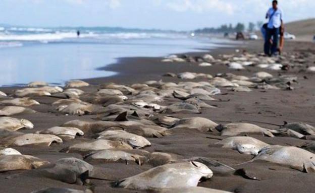 טריגונים מתים על החוף במקסיקו (צילום: express.co.uk)