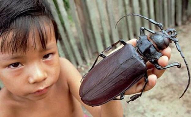 חיפושית טיטאן (צילום: odditycentral.com)
