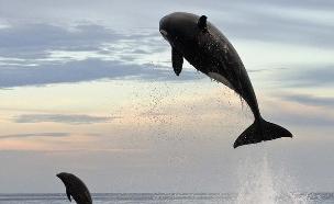לוויתן אורקה צד דולפין (צילום: כריסטופר סוואן / dailymail.co.uk)