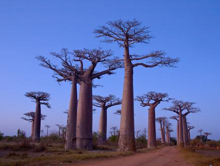 מדגסקר, יערות מוזרים, קרדיט אימג'בנק טינסטוק