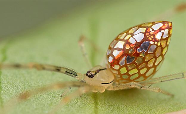 עכבישי תכשיטים
