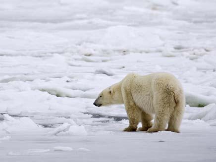 דובי הקוטב מאבדים את הקרקע (צילום: רויטרס)