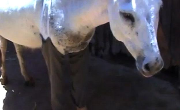 המכנסיים של החמור חיים (צילום: חדשות 2)