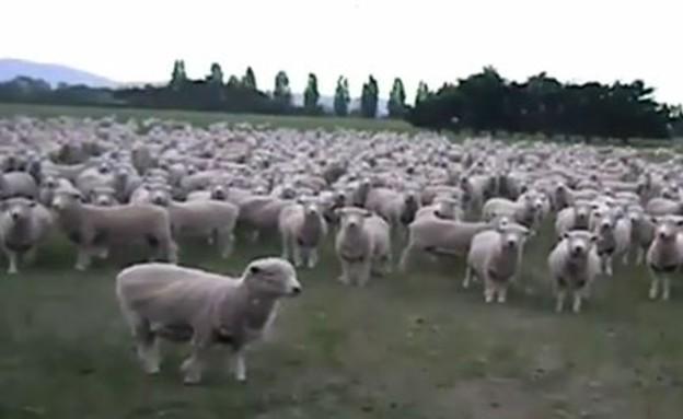 הלוחש לכבשים