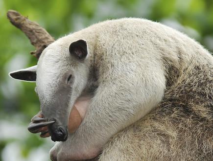 חיות חמודות- דוב נמלים  (צילום: אימג'בנק / Thinkstock)