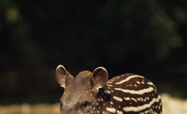 חיות חמודות- טפיר (צילום: אימג'בנק / Thinkstock)