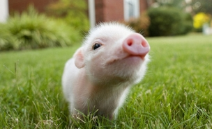 חיות חמודות - חזיר ננסי (צילום: אימג'בנק / Thinkstock)