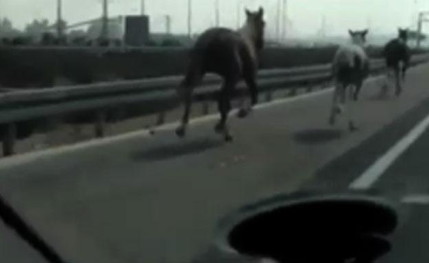 סוסים כביש 431 (צילום: חדשות 2)