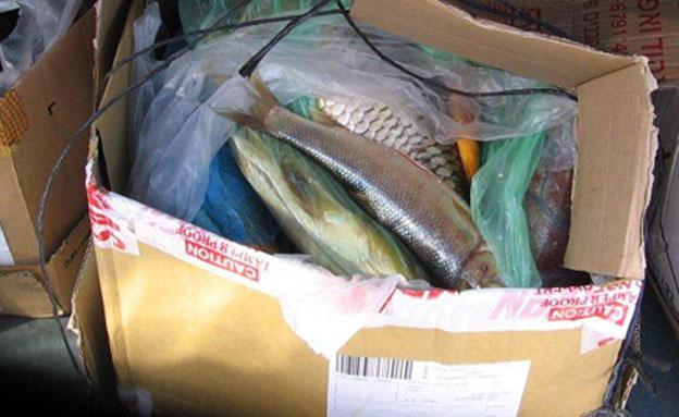 משלוח הדגים שנתפס (צילום: דני אורלנסקי)
