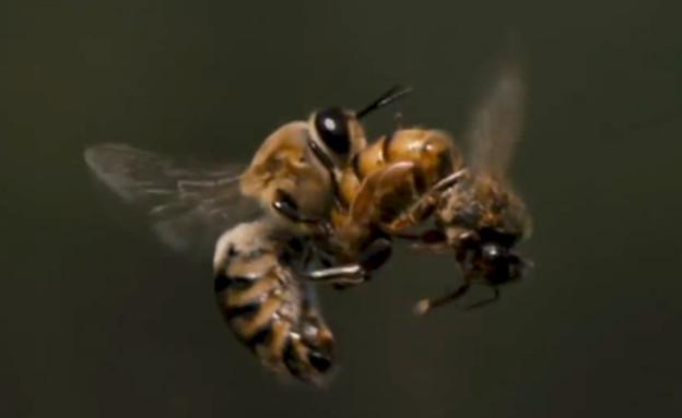 """מלכת הדבורים מזדווגת עם דבורת מזל""""ט באוויר"""