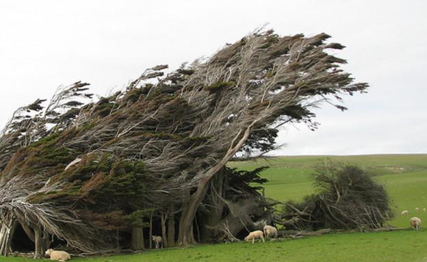עצי האי הדרומי