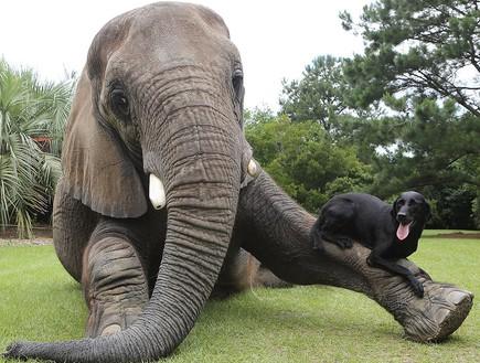 פיל וכלב מתמסרים