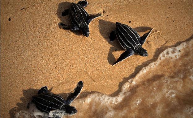 80 צבי ים מובאים למרכז השיקום בשנה (צילום: AP)