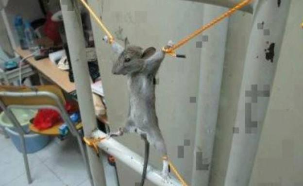 פלסטיני התעלל בעכבר (צילום: gulfnews.com)