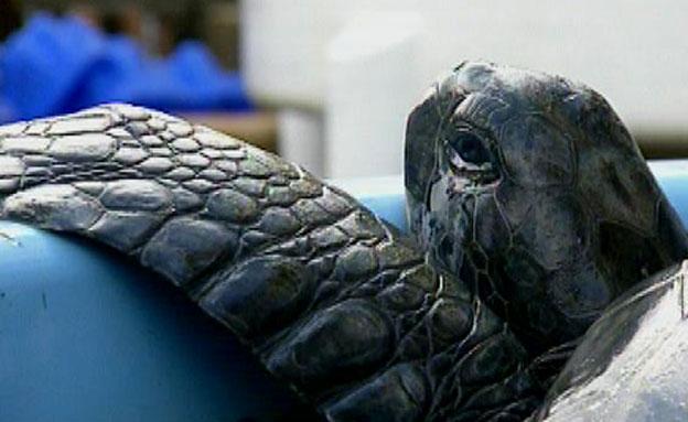 בעבר צבי הים בחופים היו רבים (צילום: חדשות 2)