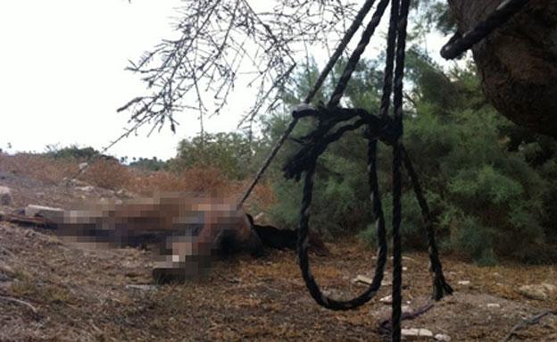 גופת הסוס שנמצאה ליד עכו (צילום: רפעת עכר)