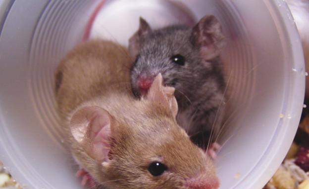 עכברים (צילום: Thinkstock)
