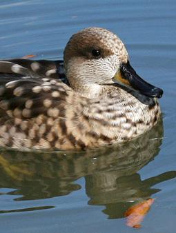 ברווז משויש (צילום: DickDaniels)