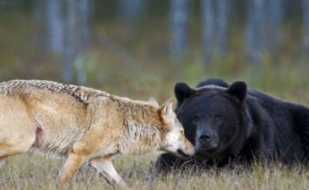 וגר זאב עם דוב (צילום: לאסי ראוטיאינן / dailymail.co.uk)
