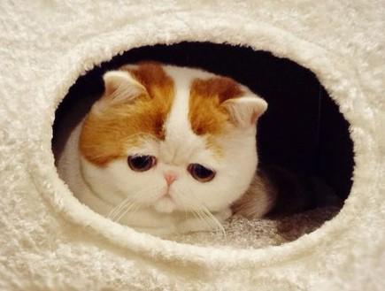 להפליא זה כנראה החתול הכי חמוד בעולם BM-89