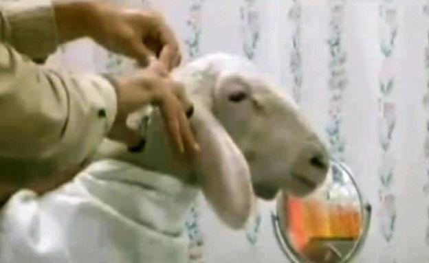 צפו: הכבשה מעזה עברה מהפך (צילום: חדשות2)