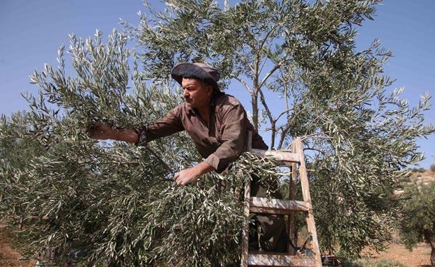 מסיק זיתים (צילום: חדשות 2)