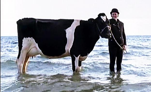 פרות בים, לא פרות ים (צילום: AP)