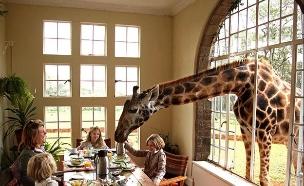 ארוחה עם ג'ירפה, מלון ג'ירפות (צילום: mymodernmet.com)