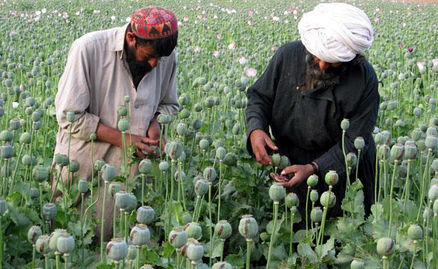 שדות האופיום באפגניסטן (צילום: רויטרס)