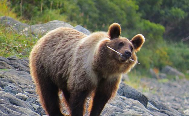 דוב חום, קמצ'טקה (צילום: אמיר גור)