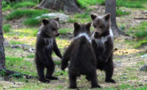 דובים רוקדים במעגל (צילום: ואלטרי מולקהיינן / solen news)