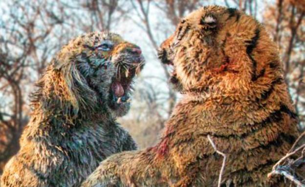 זוג נמרים (צילום: dailymail.co.uk)