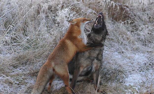 כלב ושועל (צילום: dailymail.co.uk)