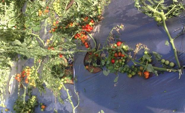 נזקים כבדים לעגבניות השרי (צילום: עידו נחום)