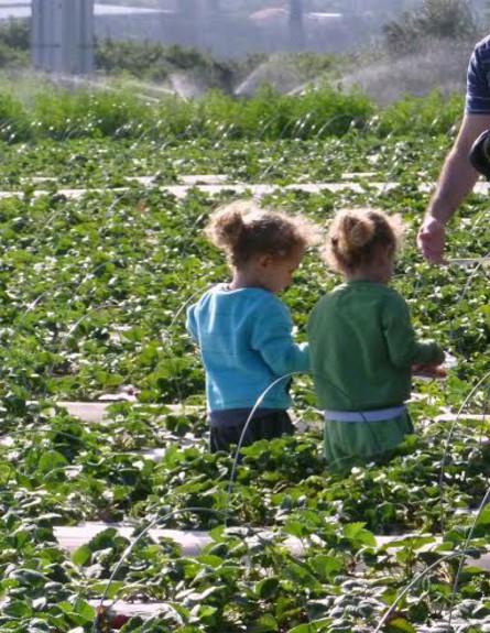 קטיף תותים בשדות (צילום: באדיבות המקום)