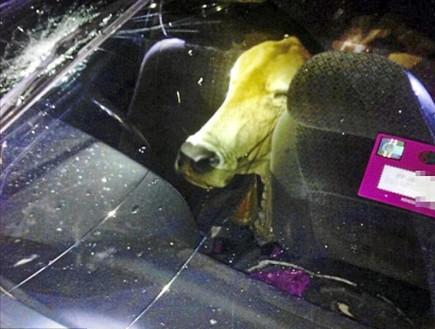 פרה באוטו