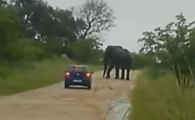 צפו: פיל ענק הפך מכונית בספארי