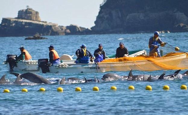שבי דולפינים (צילום: sea sheperd)