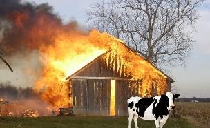 פרות נופחות (צילום: incrediblethings.com)
