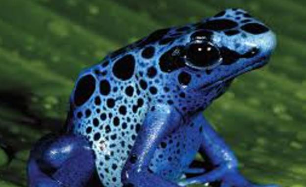 צפרדע ארסית (צילום: oddee)