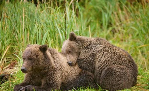 זאבים מחובקים (צילום: פול סודרס)