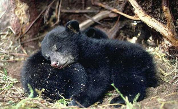דובים מחובקים (צילום: bears.org)