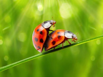 שתי חיפושיות מזדווגות (צילום: אימג'בנק / Thinkstock)