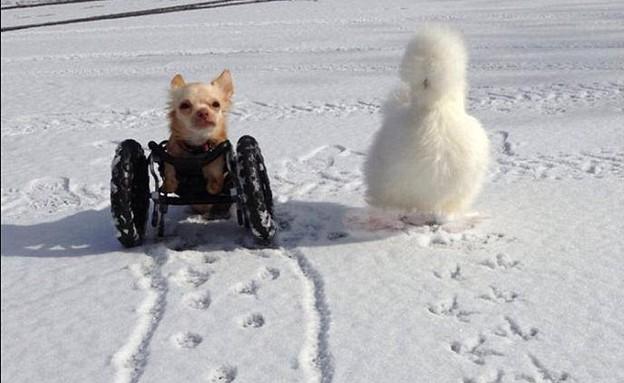 תרנגולת וכלב חברים (צילום: אלישיה וויליאמס)