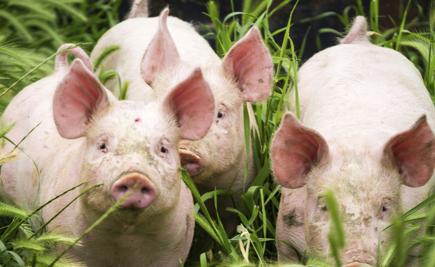 חזירים (צילום: אילוסטרציה)