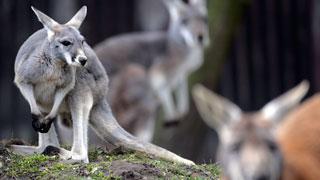 חשד: קנגורו תקף פעוטה בגן החיות (צילום: AP)