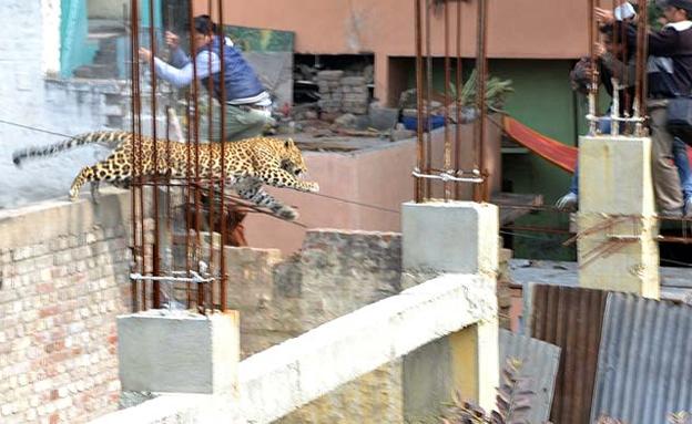 אחד האזרחים כמעט הפך לטרף (צילום: מתוך אתר .hindustantimes)