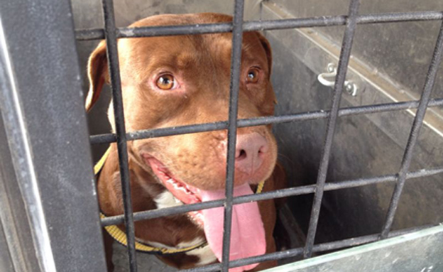כלב הפיטבול בהסגר (צילום: חדשות 2)