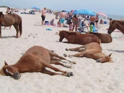 סוסים משתזפים, אי הסוסים, קרדיט lostateminor.com