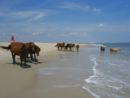 קרדיט flickr user Assateague Island, אי הסוסים